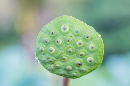 lotus effect: Lotus seeds, natural light