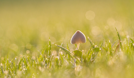 Mushrooms in the pasture with bokeh  photo