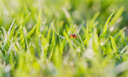 Ladybug leaves grass green island with dew drops  photo