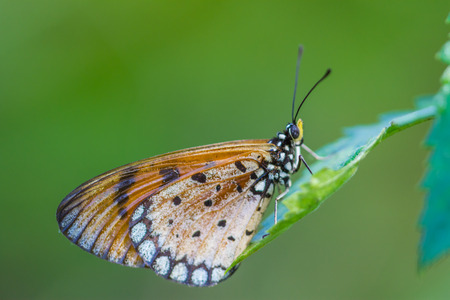 edel: Butterfly on a green leaf Macro Focus is on the body