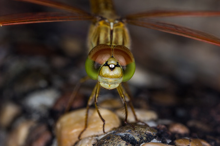 predatory insect: Orange dragonfly perched on a rock