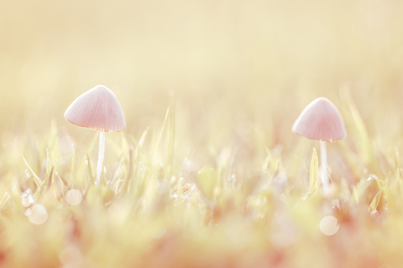 Mushrooms on the lawn with bokeh  photo