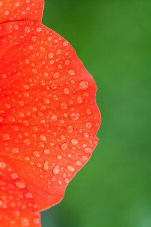 malvales: Red flower petals with water drops