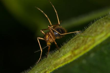 albopictus: Mosquito resting on green leaf