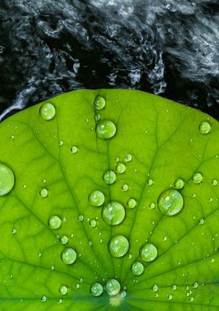 로터스 잎에 물방울 스톡 콘텐츠