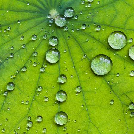 로터스 잎에 물 한 방울