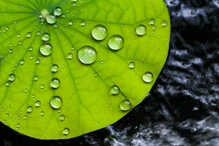 Water droplets on Lotus leaf 版權商用圖片 - 30834143