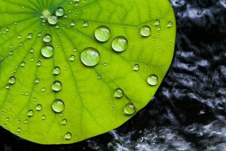 water on leaf: Water droplets on Lotus leaf