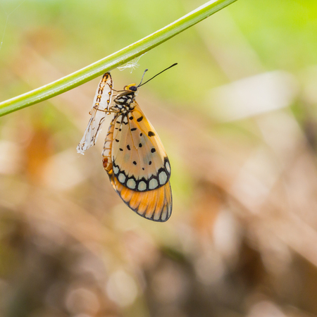 transmute: Monarch Butterfly baby born in the nature