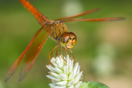 trithemis: Resting red dragonfly