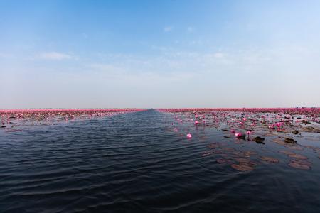 thani: Sea of pink lotus (udonthani  Thailand)