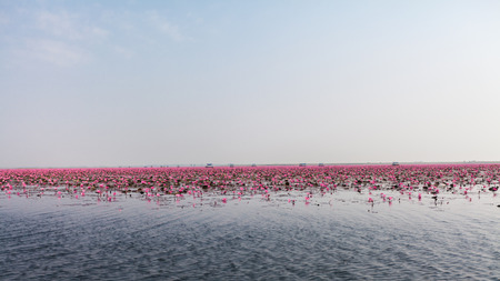 nymphaeaceae: Sea of pink lotus (unseen in Thailand) Stock Photo