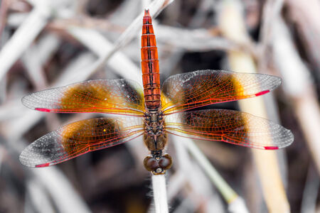 Resting red dragonfly photo
