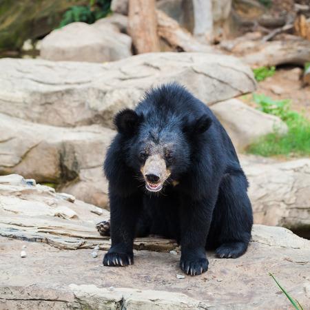 asiatic: Asiatic black bear in zoo
