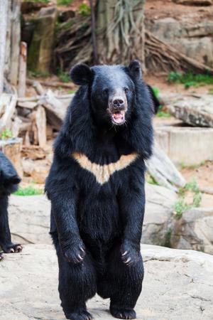 아시아 검은 곰
