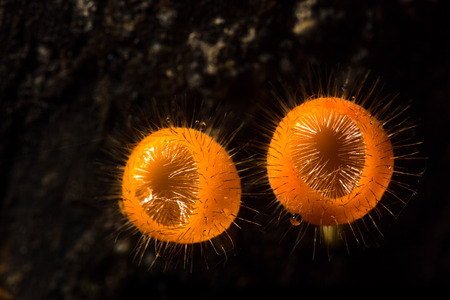 오렌지 버섯 또는 열 대 우림, 태국에서에서 샴페인 버섯. 스톡 콘텐츠