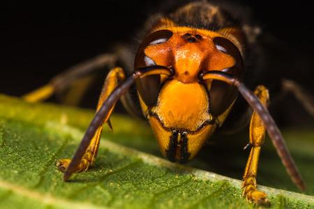 곤충 말벌의 상세한 매크로 사진입니다. 스톡 콘텐츠