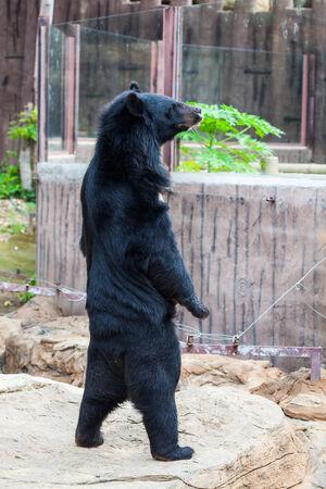 Asiatic black bear in zoo