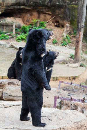 similar images preview: Asiatic black bear in zoo