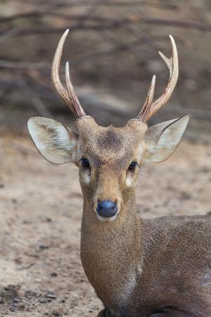 Barasingha 또는 사슴에 열려있는 동물원 스톡 콘텐츠