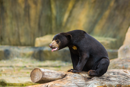 oso negro: oso