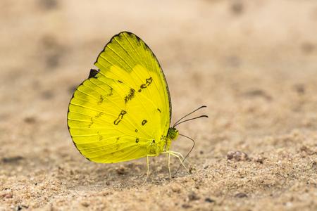노랑 나비 곤충