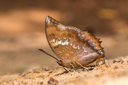 큰 갈색과 파란색 나비 모래에 휴식