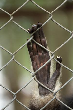 슬픈 긴팔 원숭이 손에 새장 뒤에 손 스톡 콘텐츠