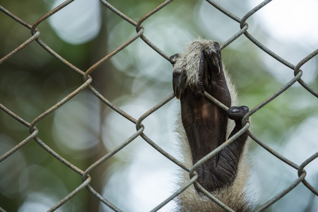 Sad Gibbon hands behind the cage