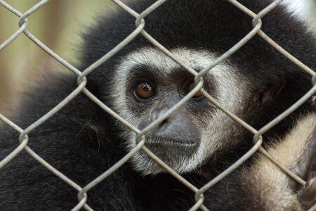 긴팔 원숭이, 동물원 새장에서 긴팔 원숭이, 긴팔 원숭이의 아름다움과 사랑 스러움, 다채로운 긴팔 원숭이, 찾고 기븐스