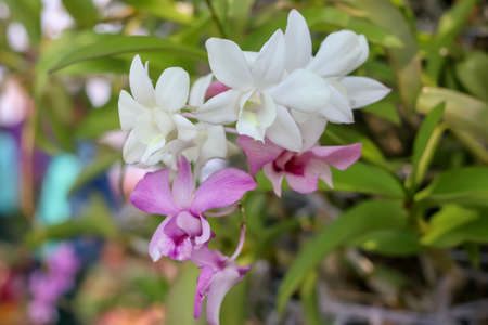 Orchid flower, the beauty of natural flowers