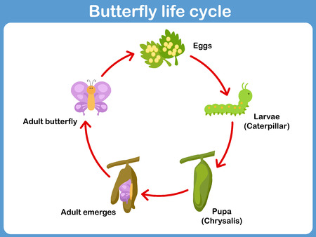 Vector Life cycle of a butterfly for kids Illustration