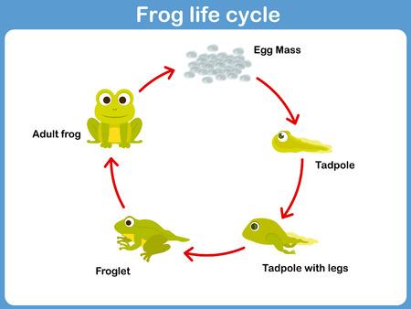Vector Life cycle van een kikker voor kinderen