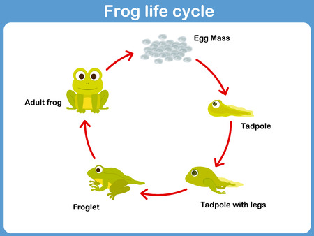 Vector Life cycle of a frog for kids