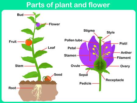 Leaning Teile der Pflanzen und Blumen für Kinder - Arbeitsblatt Vektorgrafik