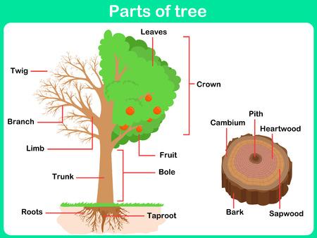 duramen: Inclinada Partes de árbol para los niños - Hoja