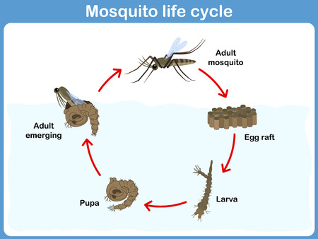 Vector Cycle of mosquito for kids