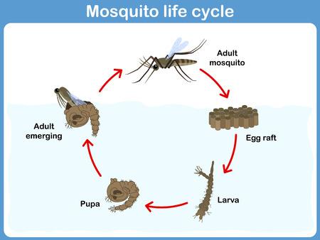 ciclo del agua: Vector Ciclo de mosquitos para los niños