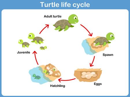 tortuga caricatura: Vector Ciclo de tortuga para los niños
