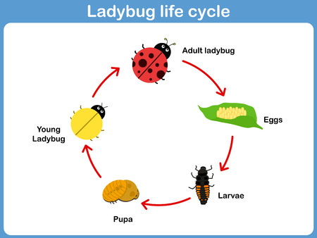 pupa: Vector Cycle of ladybug for kids Illustration
