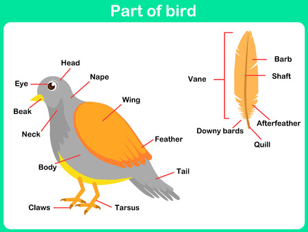 Leaning Parts Of Bird For Kids Worksheet Stock Photo Picture And