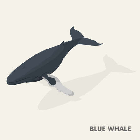 A blue whale in isometric view with shadow. Illustration