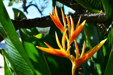 The Yellow Heliconia in the backyard Stockfoto