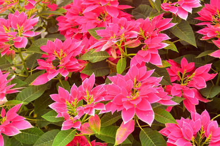Beautiful Euphorbia Pulcherrima Pink Leaves Garden