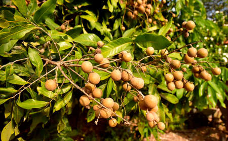 Asian Longan Orchards on the planted farm 스톡 콘텐츠