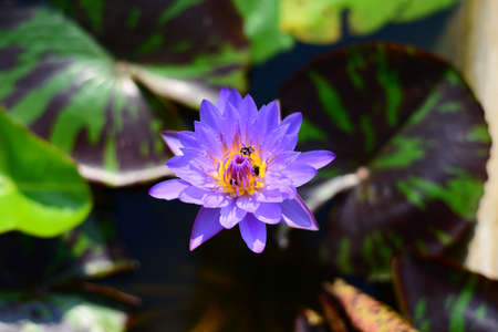Blue Lotus water lily with three bees