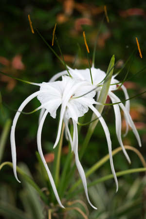 spider lily: White spider lily flowers on natural green leaf background