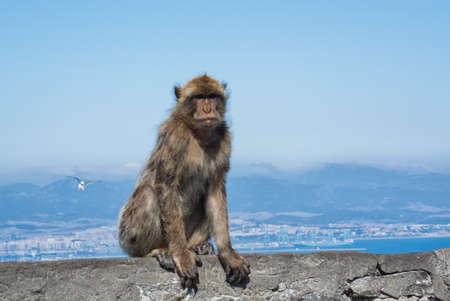 Monkey on Gibraltar with seagull Stock Photo