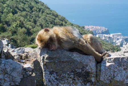 Ape sleeping on top of Gibraltar Rock