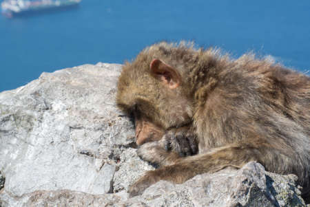 Cute bee sleeping on a rock in Gibraltar Stock Photo